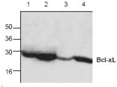 Anti-Bcl-XL antibody