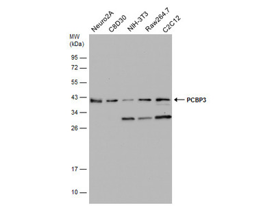Anti-PCBP3 antibody [N1C2]