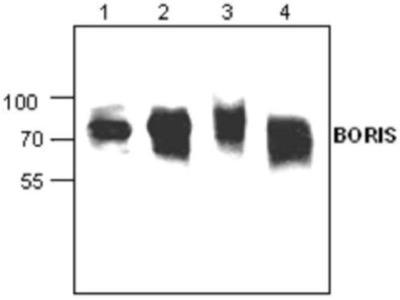 Anti-Boris antibody