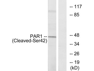 Anti-Thrombin Receptor (cleaved Ser42) antibody