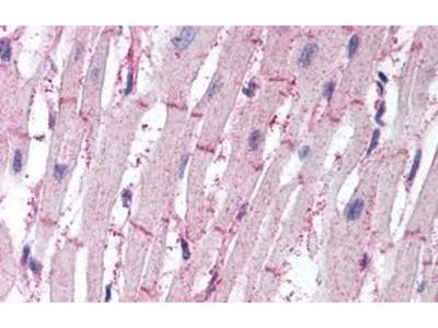 Anti-ATG4B antibody