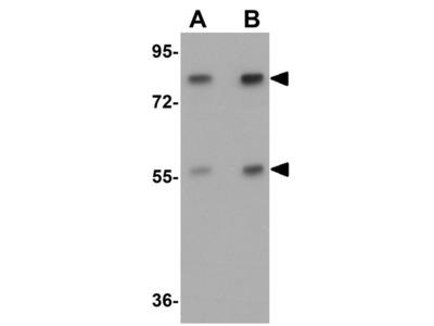 Anti-APC4 antibody