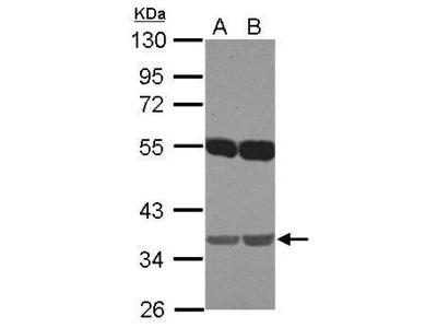 Anti-EMB antibody [N1C1]