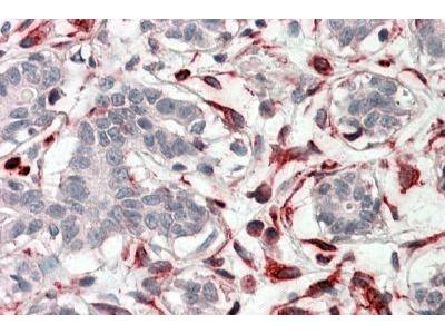 Anti-CXXC4 antibody, C-term