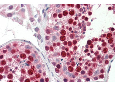 Anti-ABCA9 antibody, Internal