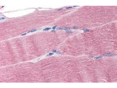 Anti-Ferroportin 1 antibody