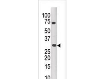 Anti-PIM3 antibody
