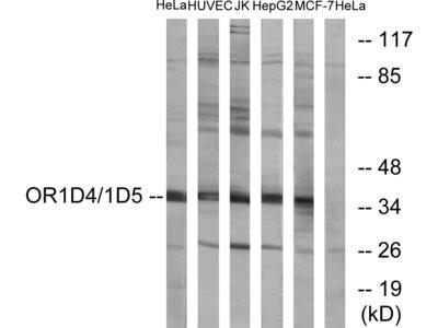 Anti-OR1D4 + OR1D5 antibody