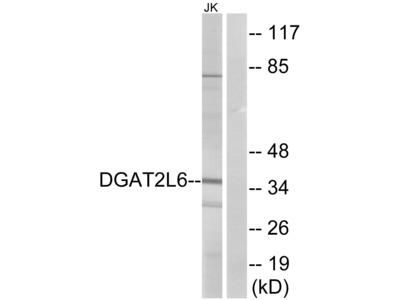 Anti-DGAT2L6 antibody