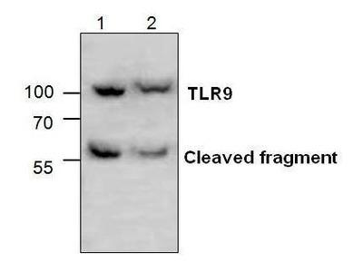 Anti-TLR9 antibody