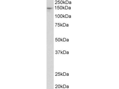Anti-Pex1 antibody, Internal