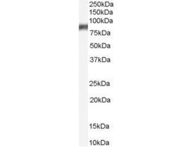 Anti-5-Lipoxygenase antibody, C-term