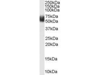 Anti-FBXL3 antibody, N-term