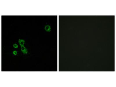 Anti-TAS2R7 antibody