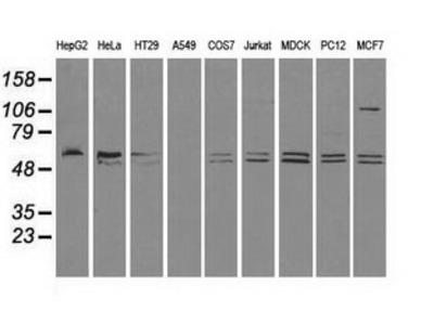 Anti-CD4 antibody [10B5]