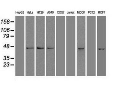 Anti-SOX17 antibody [3H5]