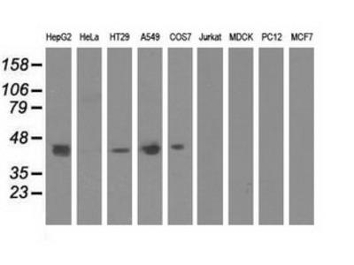 Anti-CBWD1 antibody [2D2]