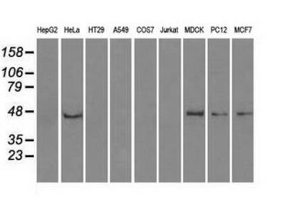 Anti-PPP1R7 antibody [4F9]