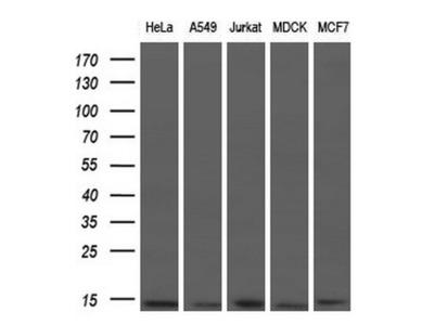 Anti-ID3 antibody [10D3]