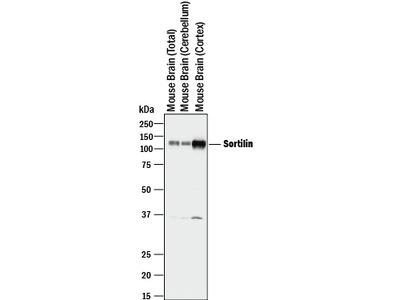 Sortilin Antibody