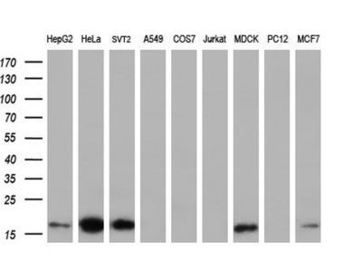 Anti-TMEM80 antibody [2B7]