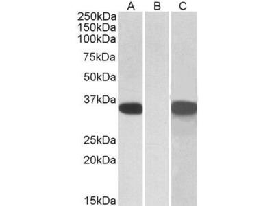 Anti-CRISP2 antibody, Internal