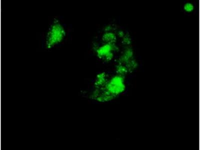 Anti-SOX17 antibody [3B10]