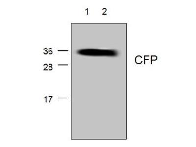 Anti-CFP antibody