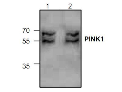 Anti-PINK1 antibody