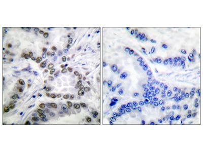 Anti-CBP (acetyl Lys1535) antibody