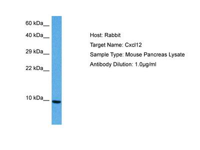 CXCL12 antibody - middle region (AVARP07031_P050)
