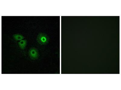 Anti-OR4A15 antibody