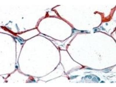 S3-12 antibody
