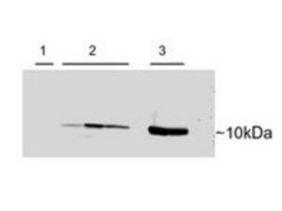 PVALB antibody