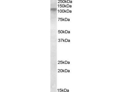 DLG4 antibody
