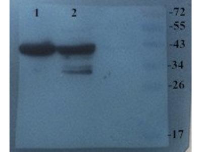 CHRNA7 antibody