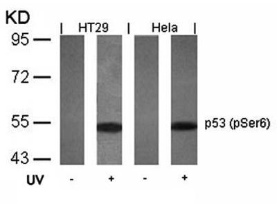 p53 (phospho-Ser6) antibody