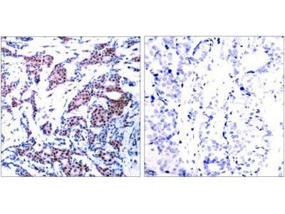 c-Jun (phospho-Ser73) antibody