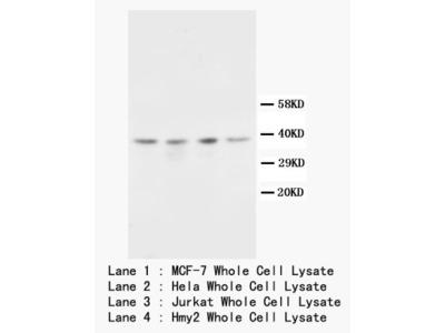 CD82 antibody