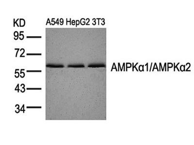 AMPK alpha 1/AMPK alpha 2 antibody