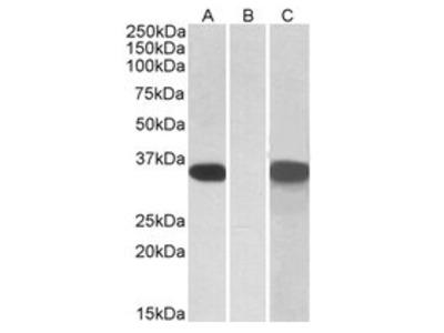 anti CRISP2 (81-93)