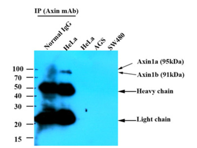 anti Axin-1