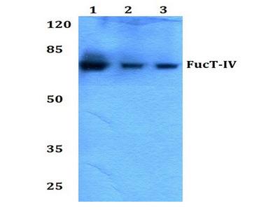 anti Fucosyltransferase 4