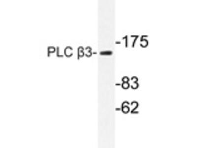 anti PLCB3