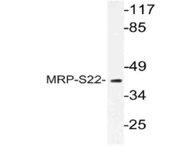 anti MRPS22