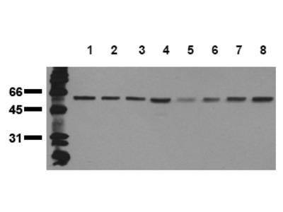 anti Beclin-1