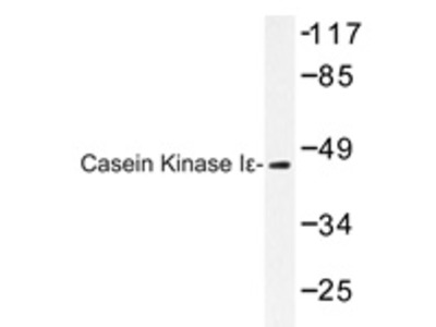 anti Casein kinase I epsilon