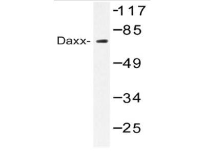 anti DAXX
