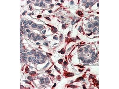CXXC4 antibody