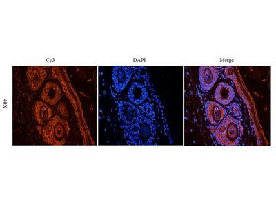 CXCR1 antibody